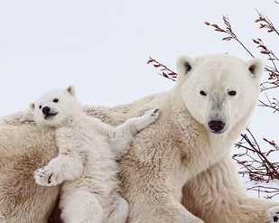 traveling polar bears